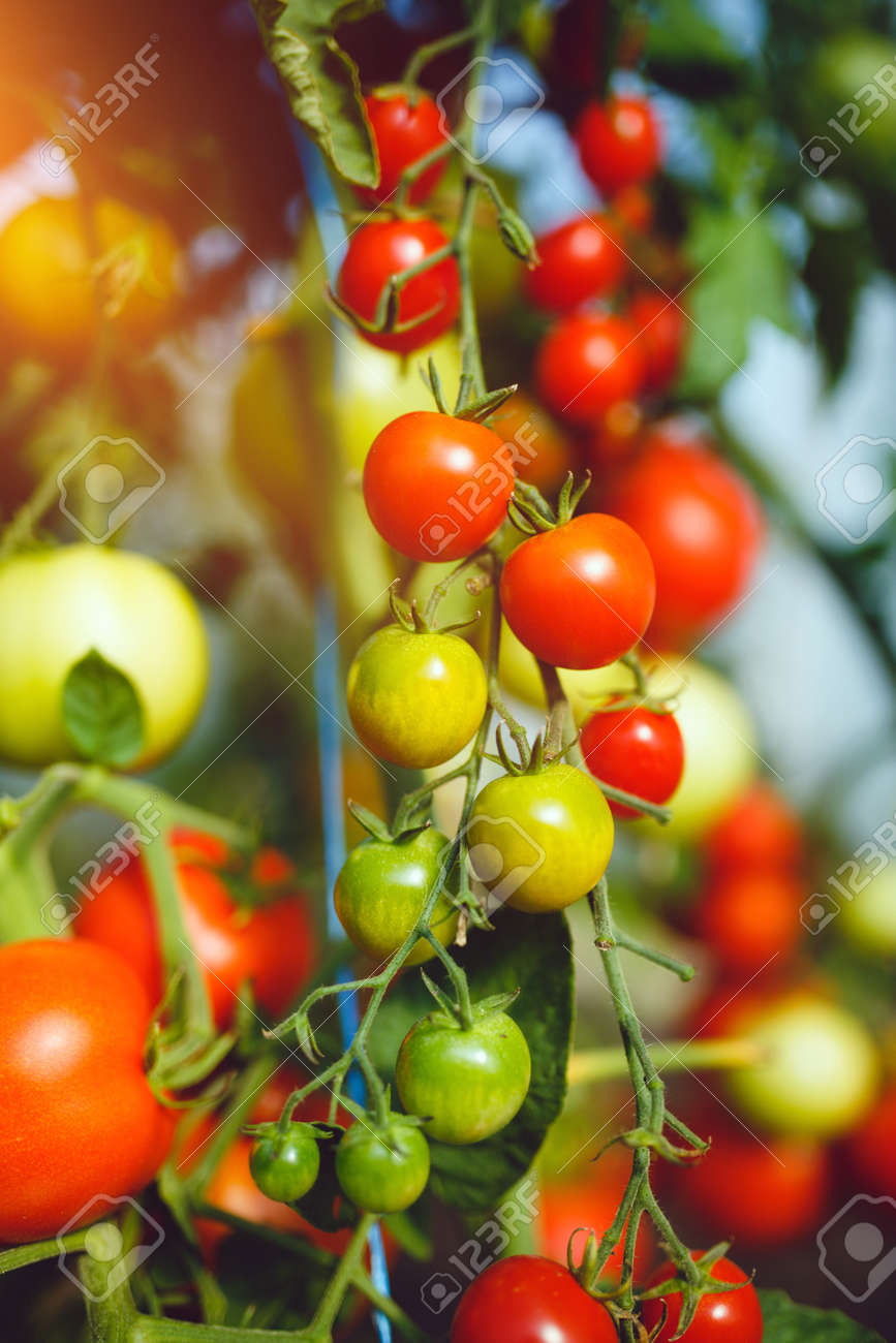 Natural tomato greenhouse. Beautiful red ripe and green tomatoes grown in a greenhouse - 148728993