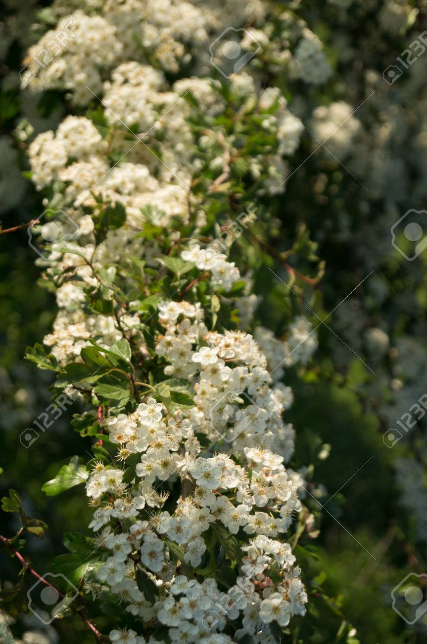 A Tree With White Blossom Stock Photo Picture And Royalty Free