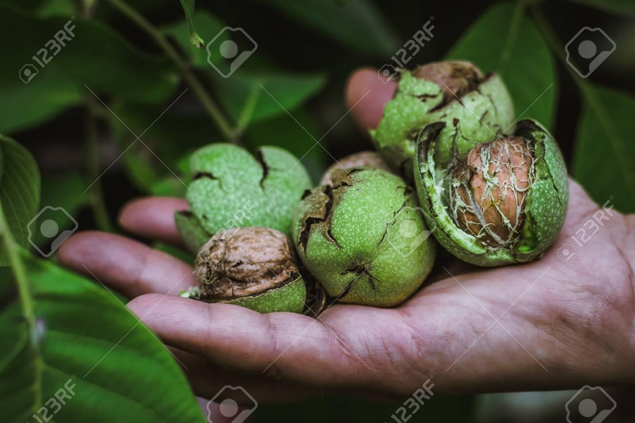 Fresh harvest of ripe walnuts farming farm