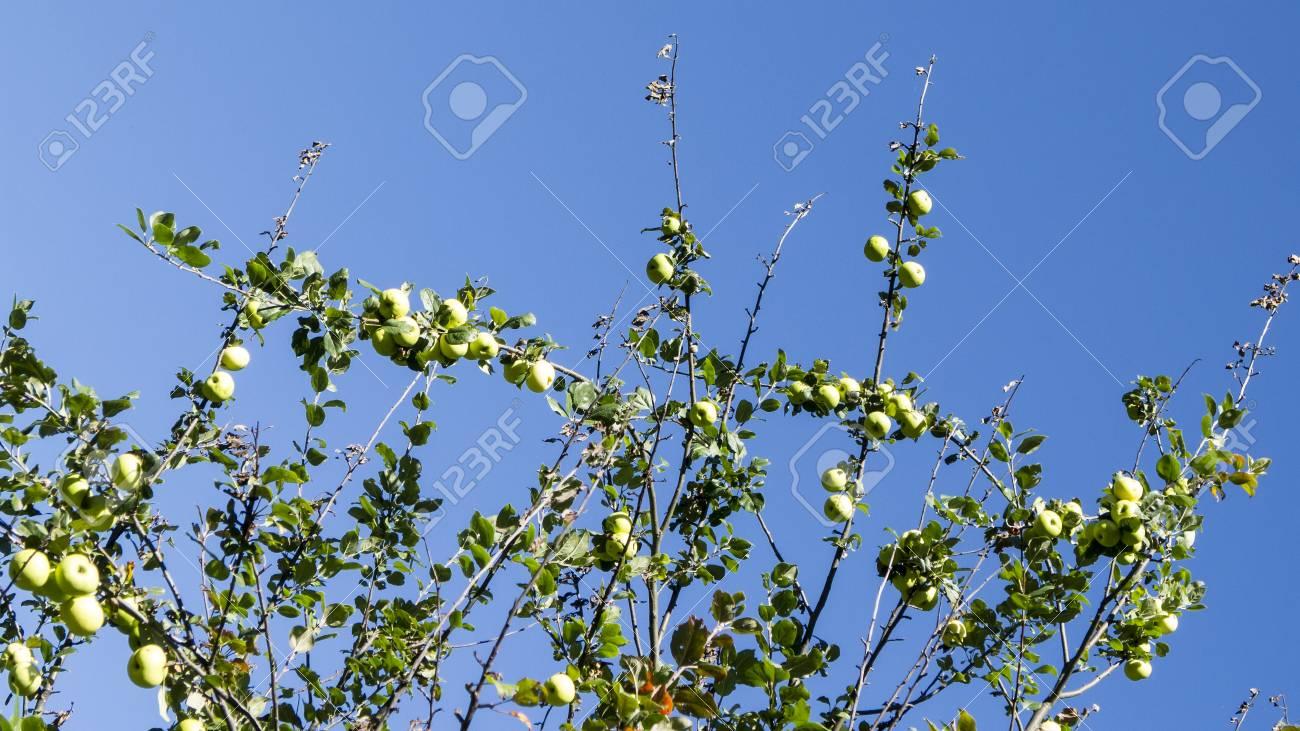 Green apples on a tree. Apple tree - 97243644