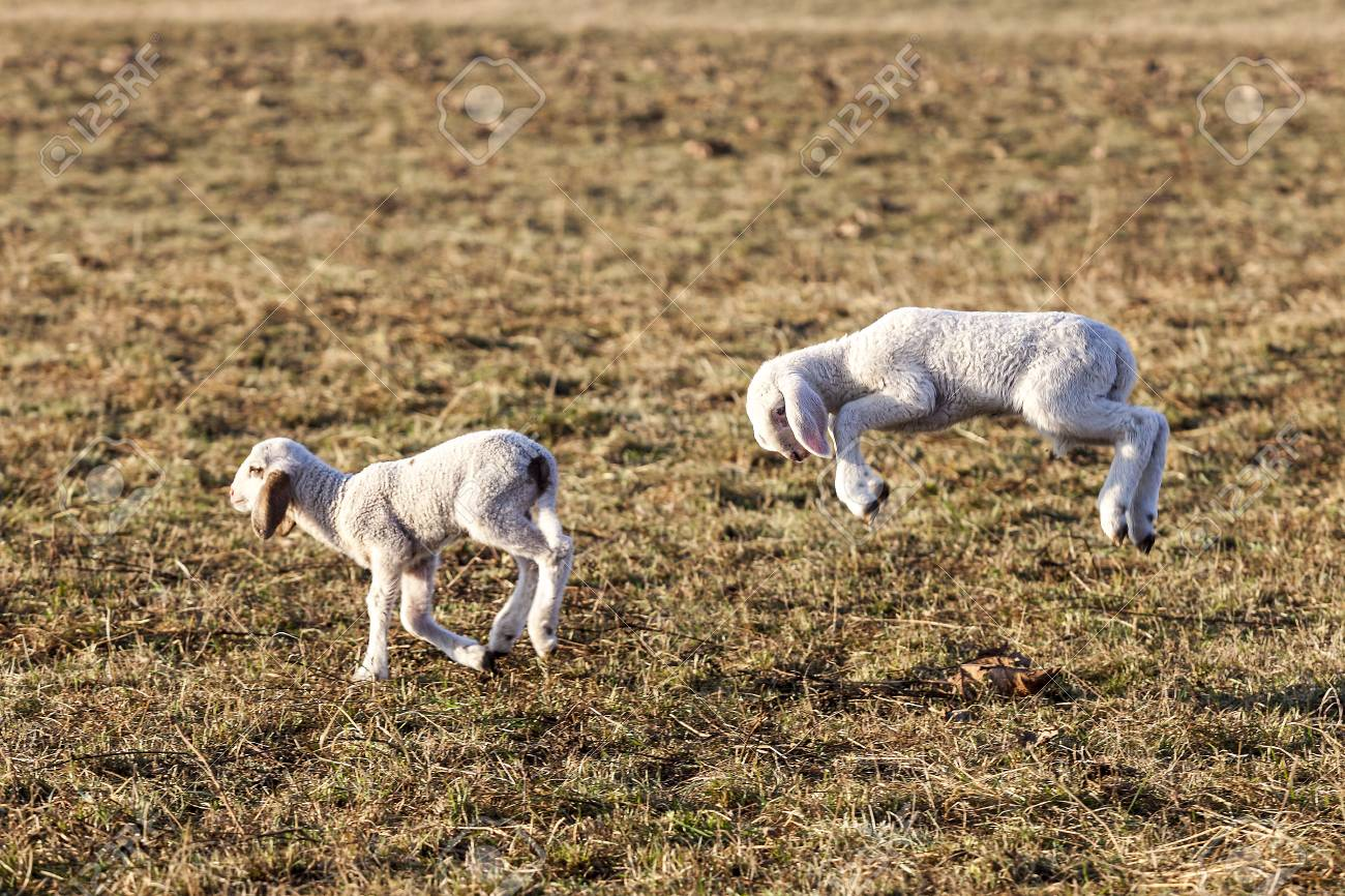 Two white lambs running and jumping