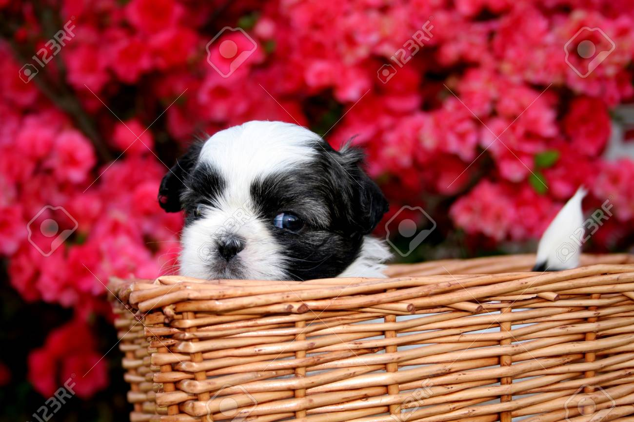 A Cute Shih Tzu Puppy In A Basket With An Azalea As The Background Stock Photo Picture And Royalty Free Image Image 3055970