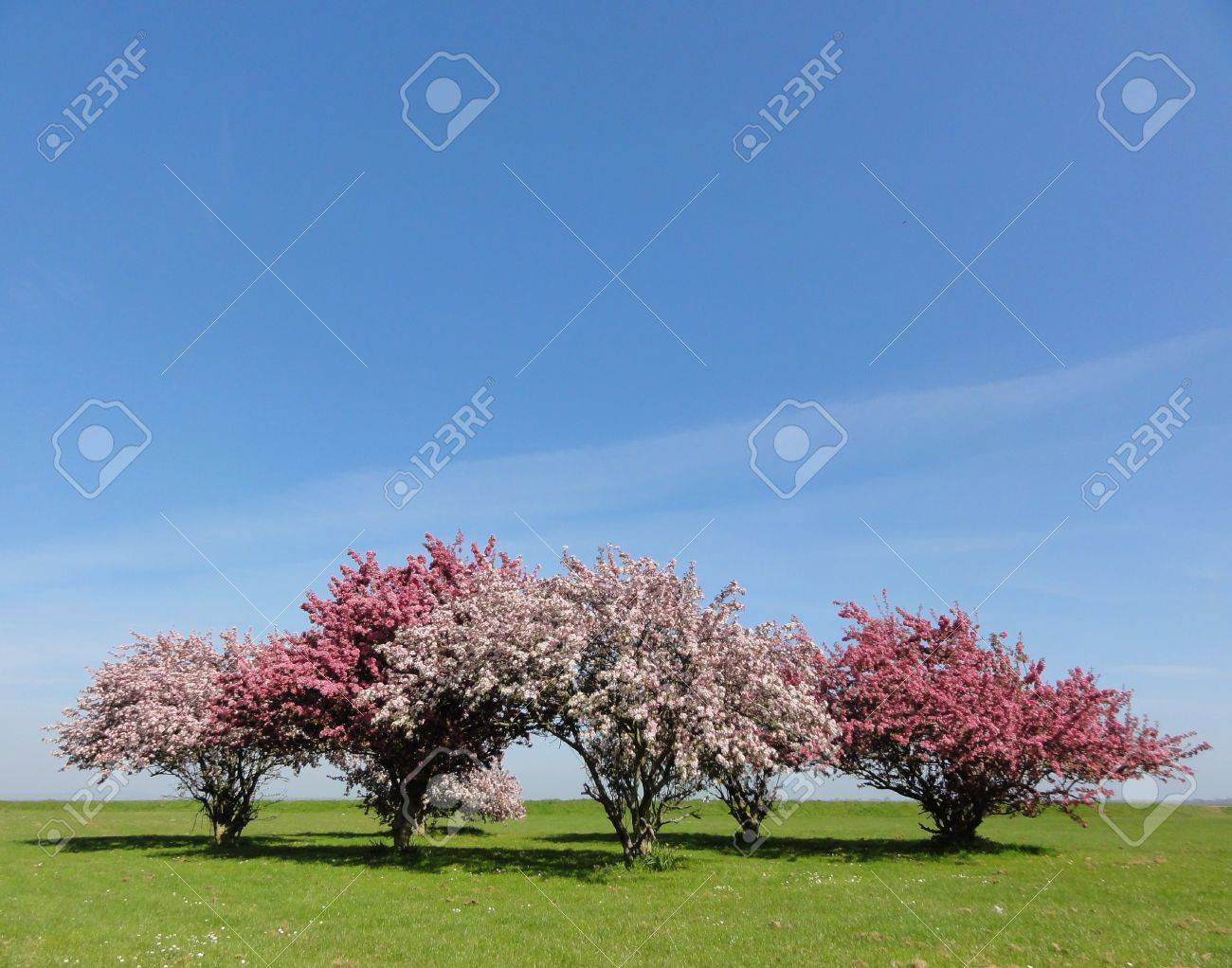 Photo of blossom trees on grass with a blue sky background stock photo of blossom trees on grass with a blue sky background stock photo 9324703 izmirmasajfo