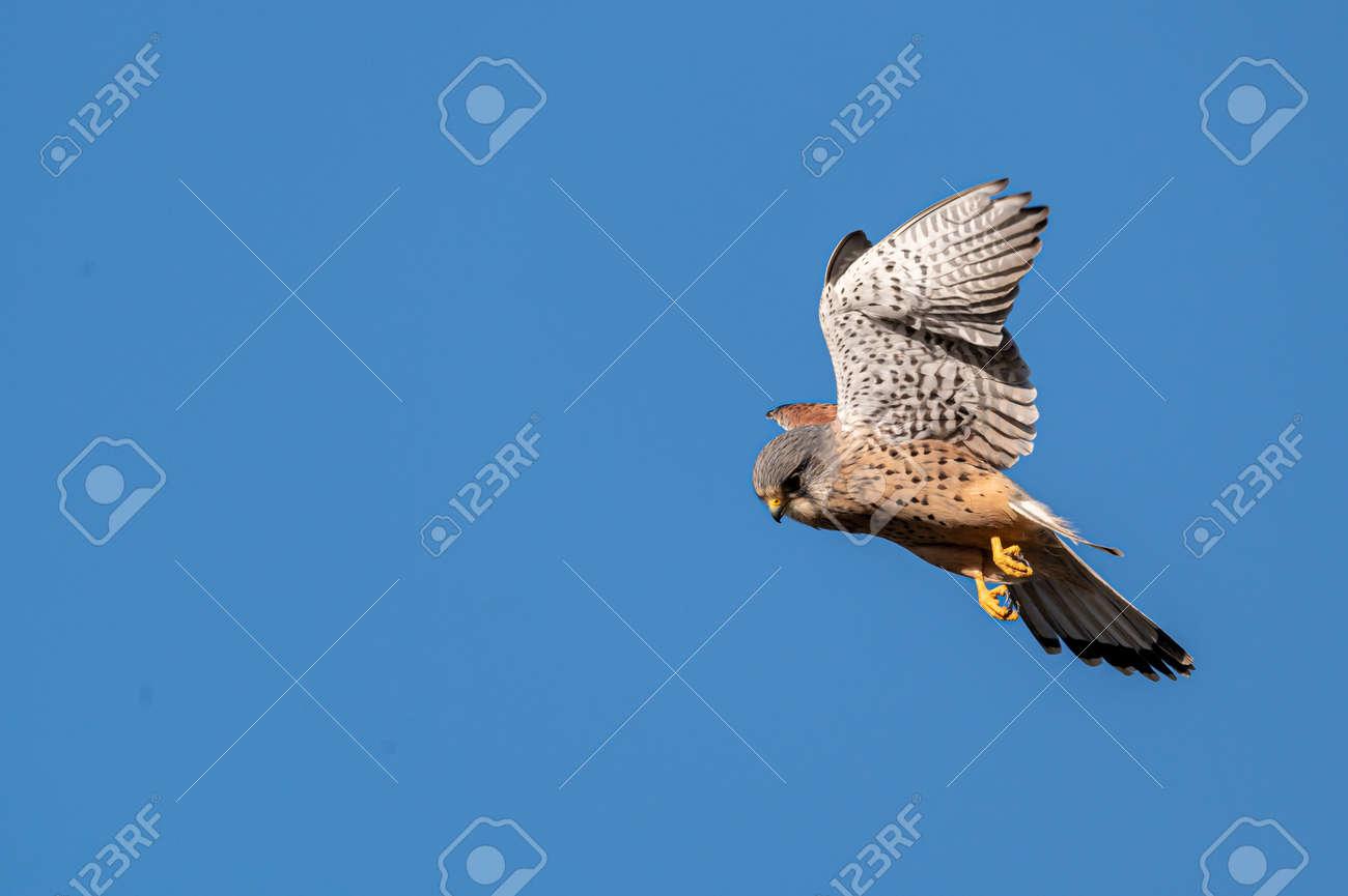 Male kestrel bird of prey, Falco tinnunculus, in flight hunting for prey - 164421329