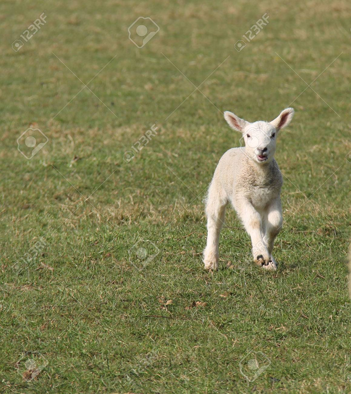 The Fresh Face Of A Happy Skipping Baby Lamb Stock Photo, Picture ... for Happy Baby Lamb  54lyp