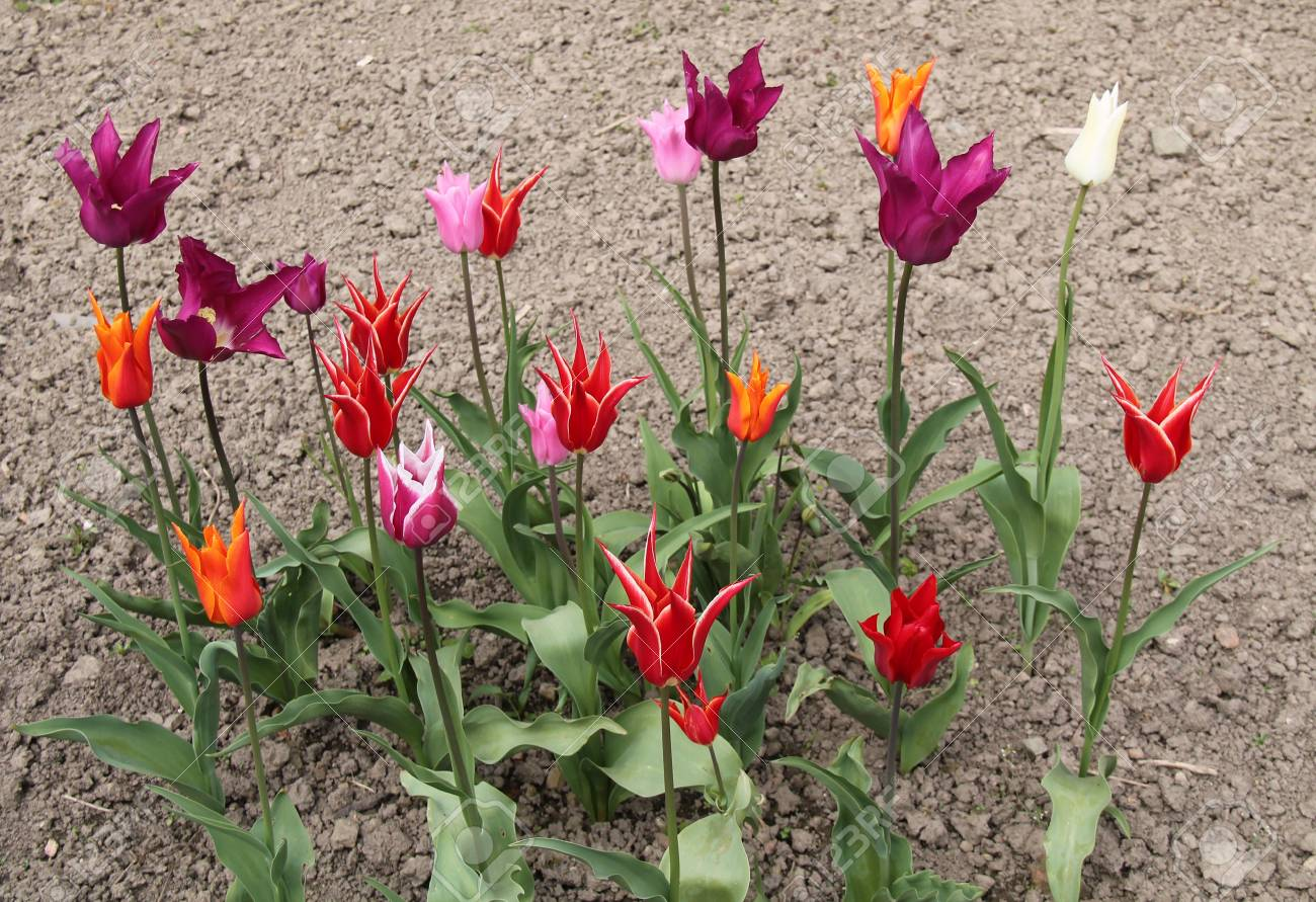 A Beautiful Group Of A Variety Of Tulip Flower Plants Stock Photo
