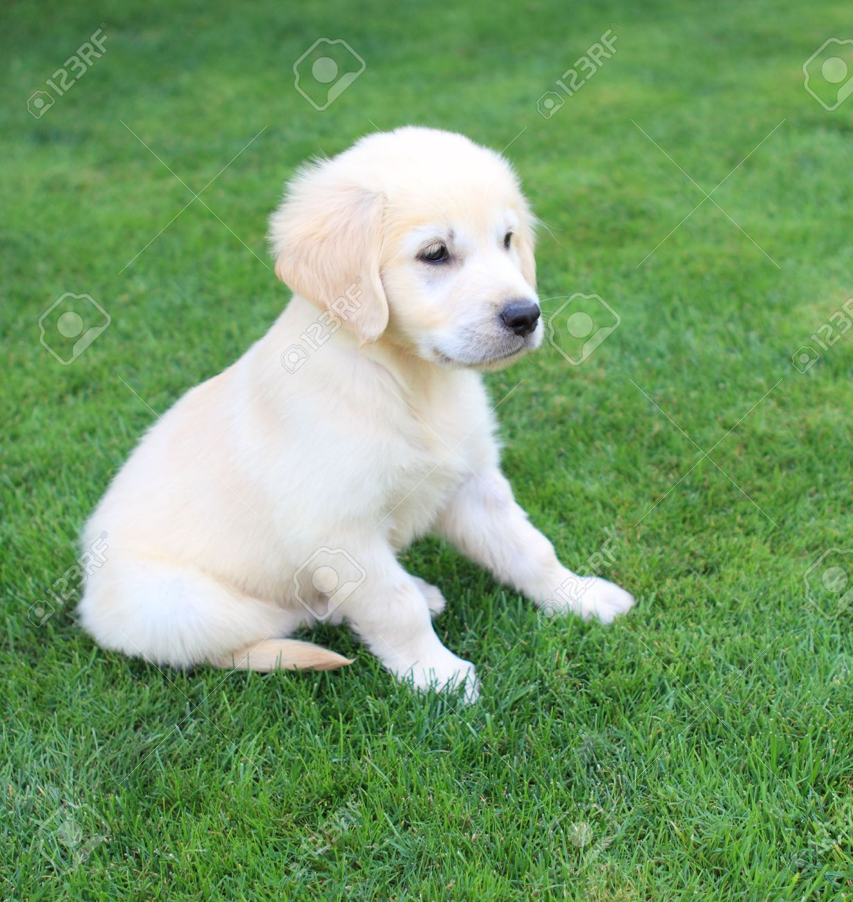 Golden Retriever Labrador Puppy On The Green Grass Stock Photo