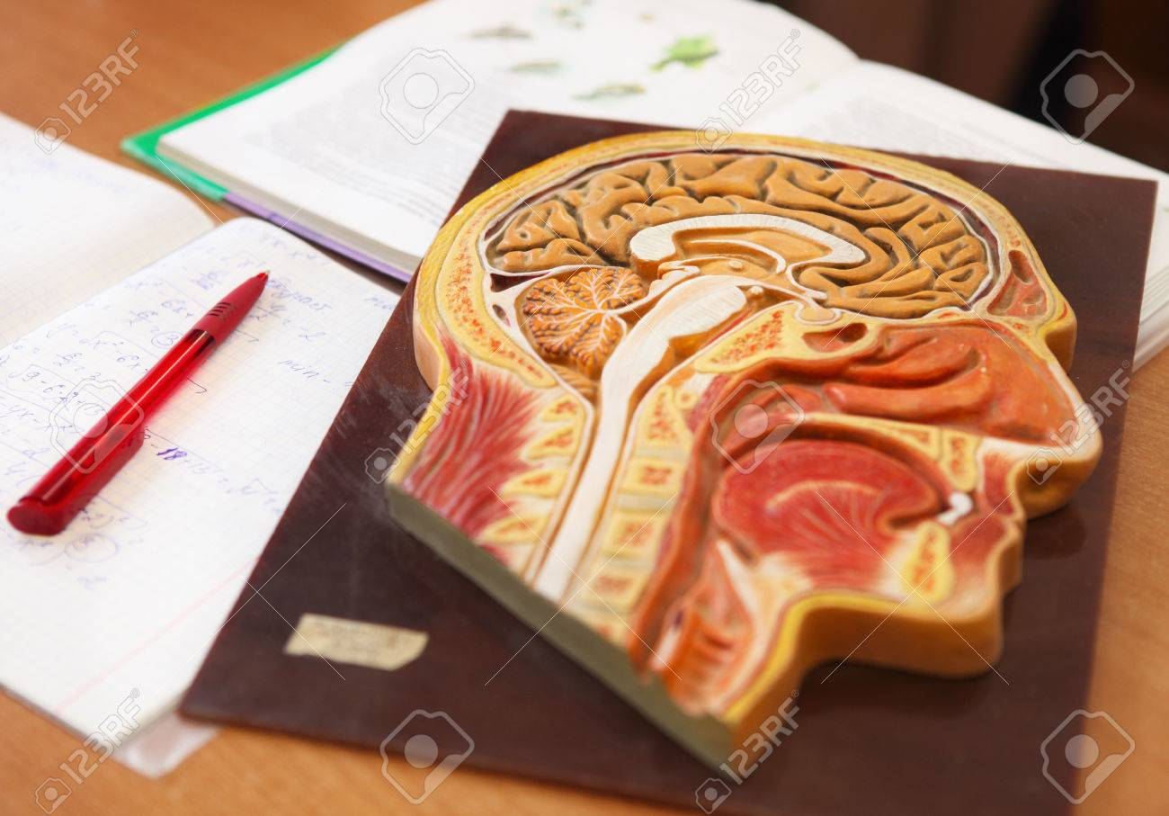 Close Up Of Anatomical Model Of A Human Head With Book Writing Book