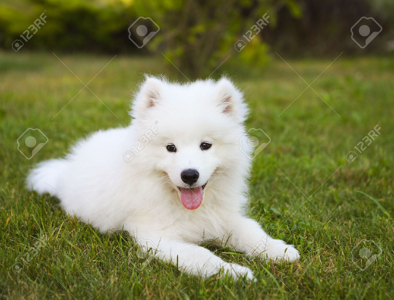 Funny Samoyed puppy in the summer garden on the green grass - 51372207
