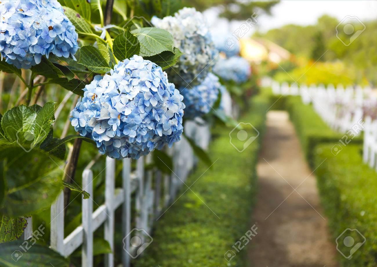 Blue Hydrangea flower (Hydrangea macrophylla) in a garden. Close-up. Copy space - 68924106