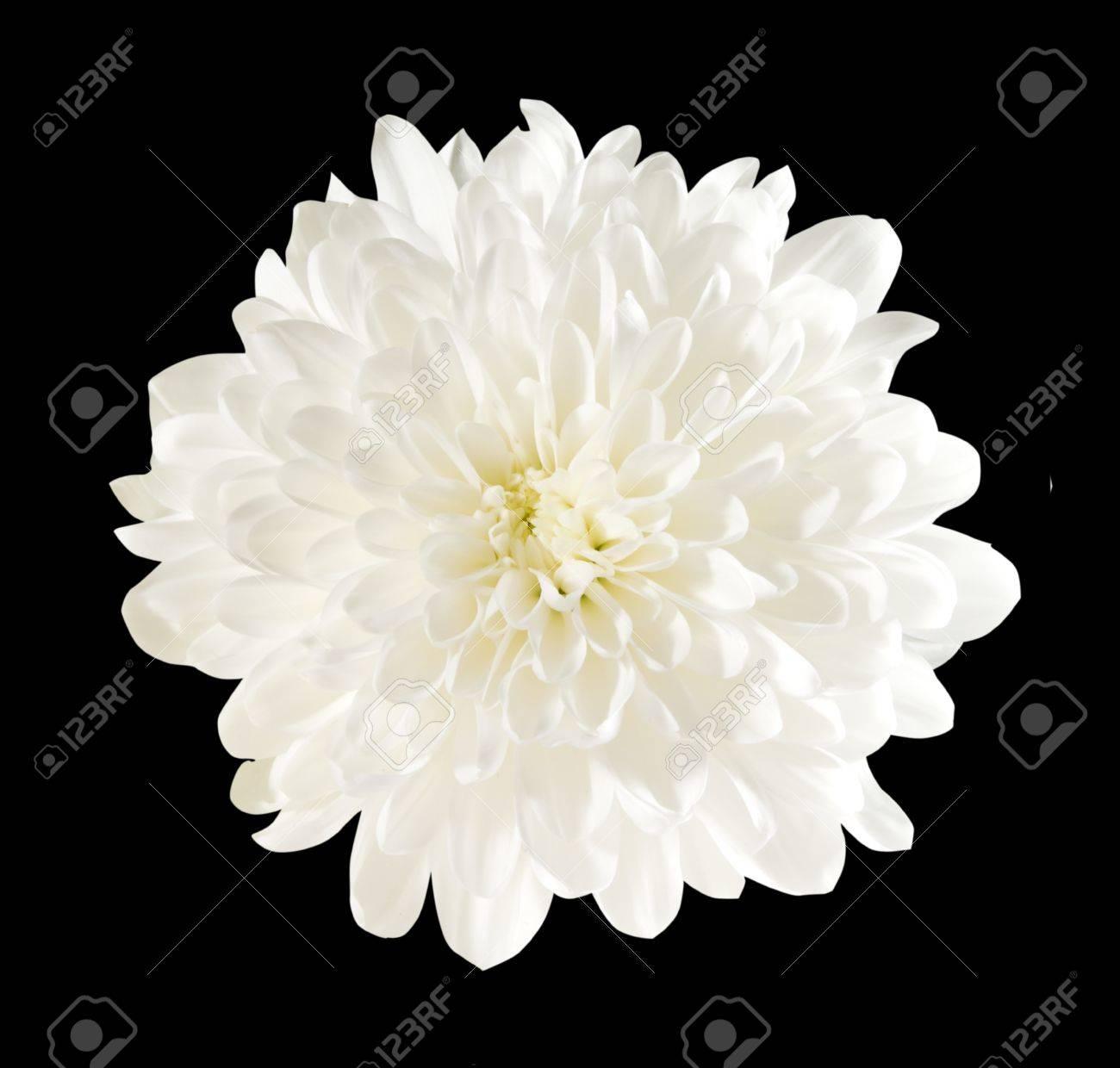 One flower white chrysanthemum on black background stock photo one flower white chrysanthemum on black background stock photo 10993182 mightylinksfo