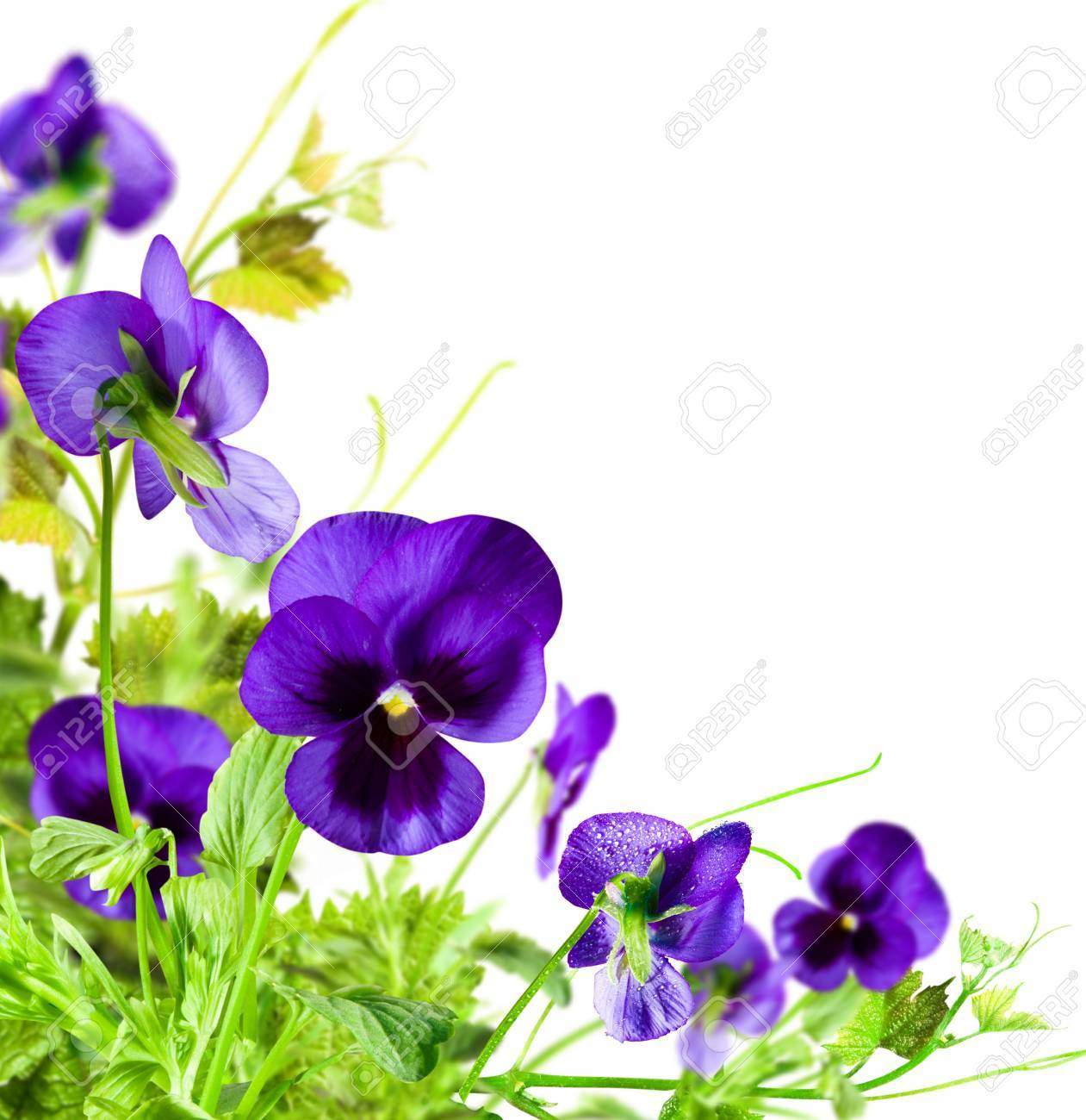 Flowers violet with green leafs on white  background Stock Photo - 13107332