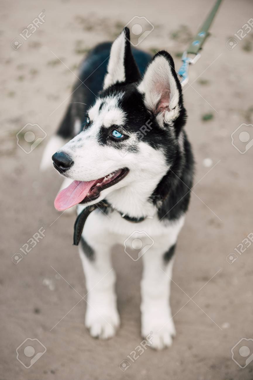 Cute Siberian Husky Puppy Dog With Blue Eyes Play Outdoors At Stock Photo Picture And Royalty Free Image Image 80902324