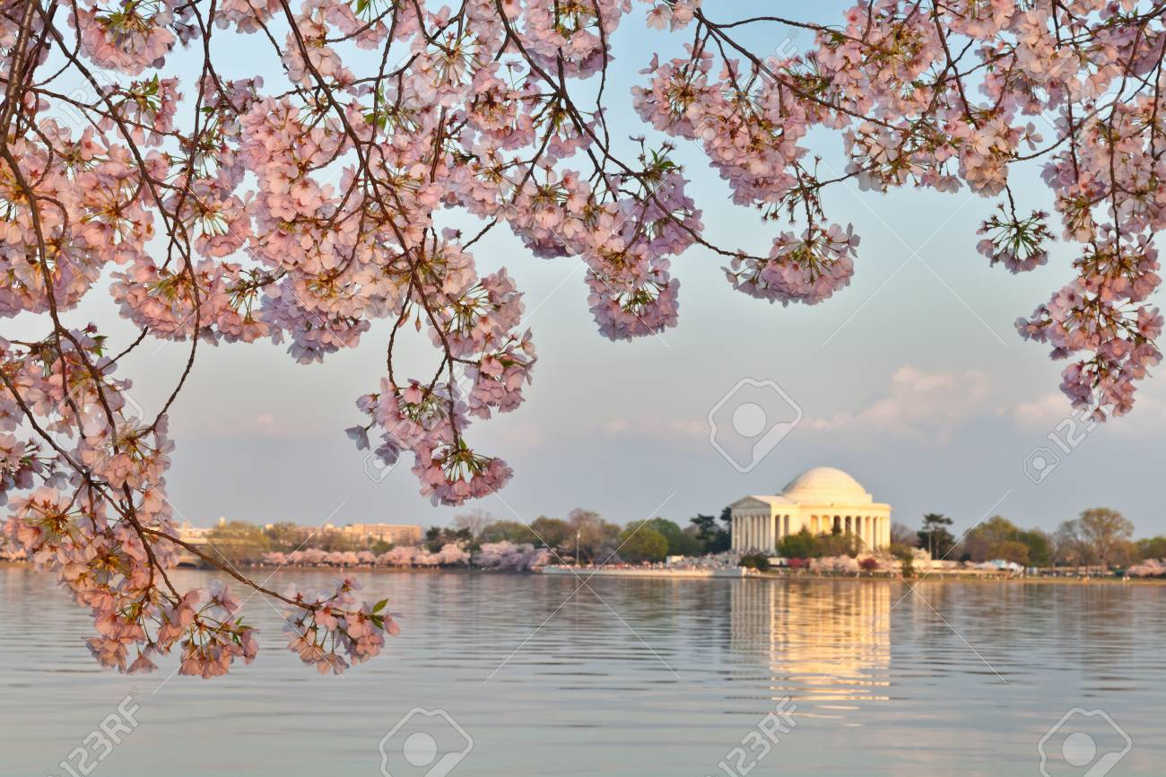 Cherry Blossoms Around The Tidal Basin In Washington DC Framing ...