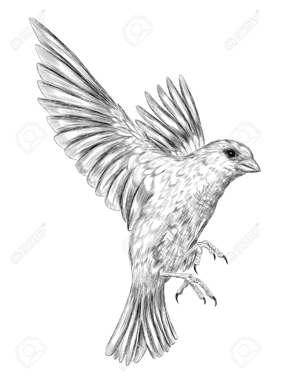chickadee bird black and white vector graphics of coloring the sketch - 153568197