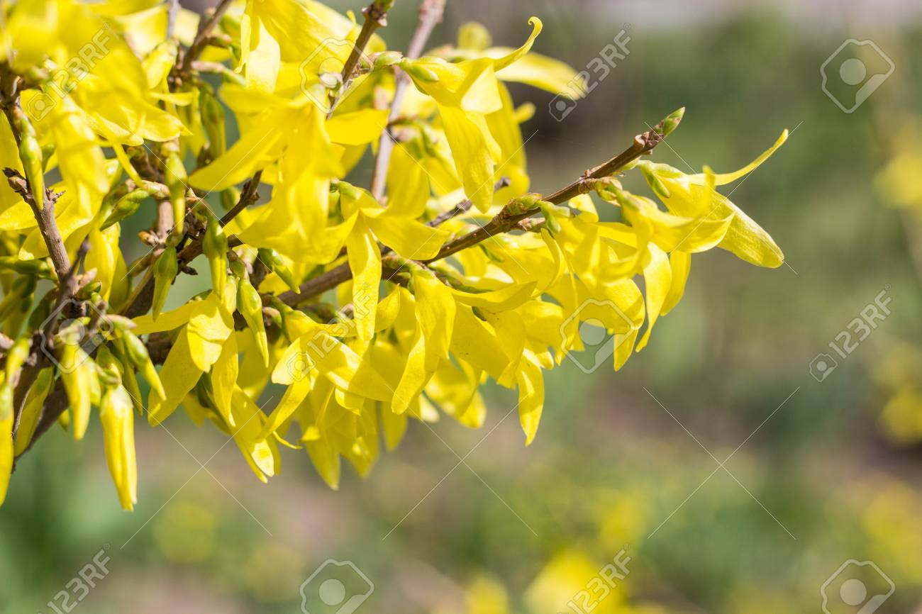 Blooming in spring garden bush forsythia with yellow flowers stock blooming in spring garden bush forsythia with yellow flowers stock photo 77508533 mightylinksfo