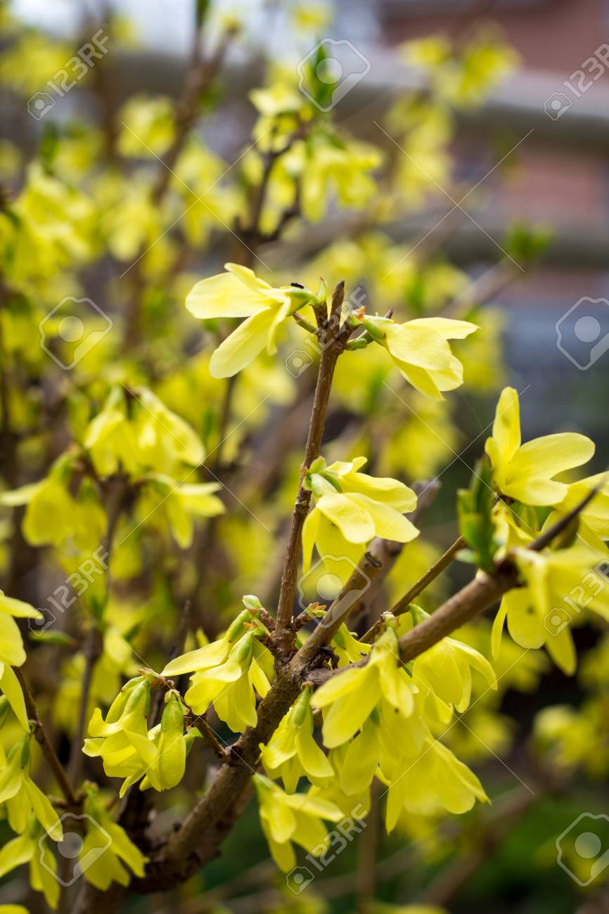Blooming In Spring Garden Bush Forsythia With Yellow Flowers Stock