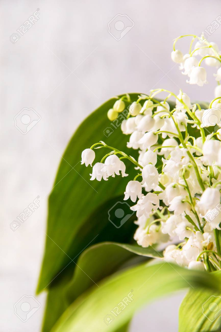 Lily Of The Valley Flowers Natural Background With Blooming Stock