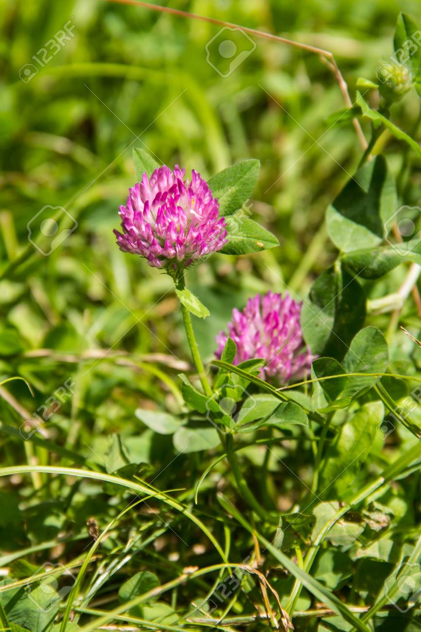 Blooming Red Clover Trifolium Pratense And Green Grass Close Up
