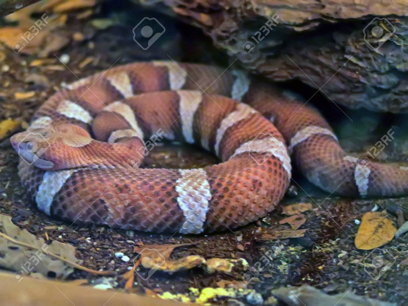 view of a agkistrodon contortrix a venomous species of snake
