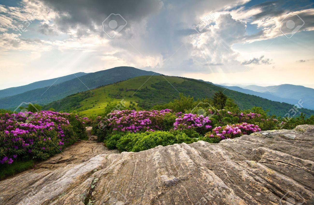 Rhododendron Bloom on Blue Ridge Appalachian Trail Roan Mountains Peaks scenic landscape Stock Photo - 9855658