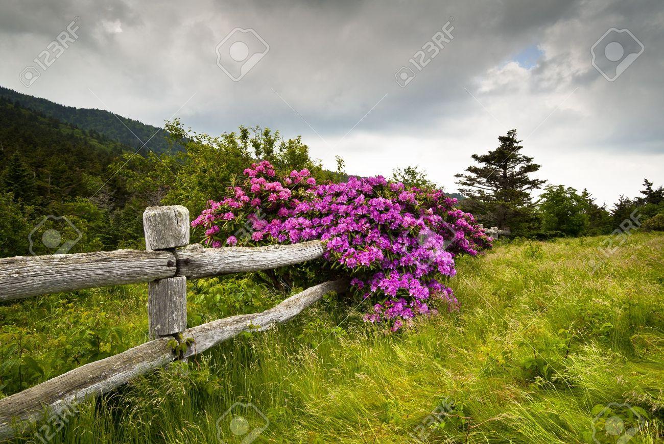 Roan Mountain State Park Gap Sculpteurs Rhododendron Fleur Fleurs