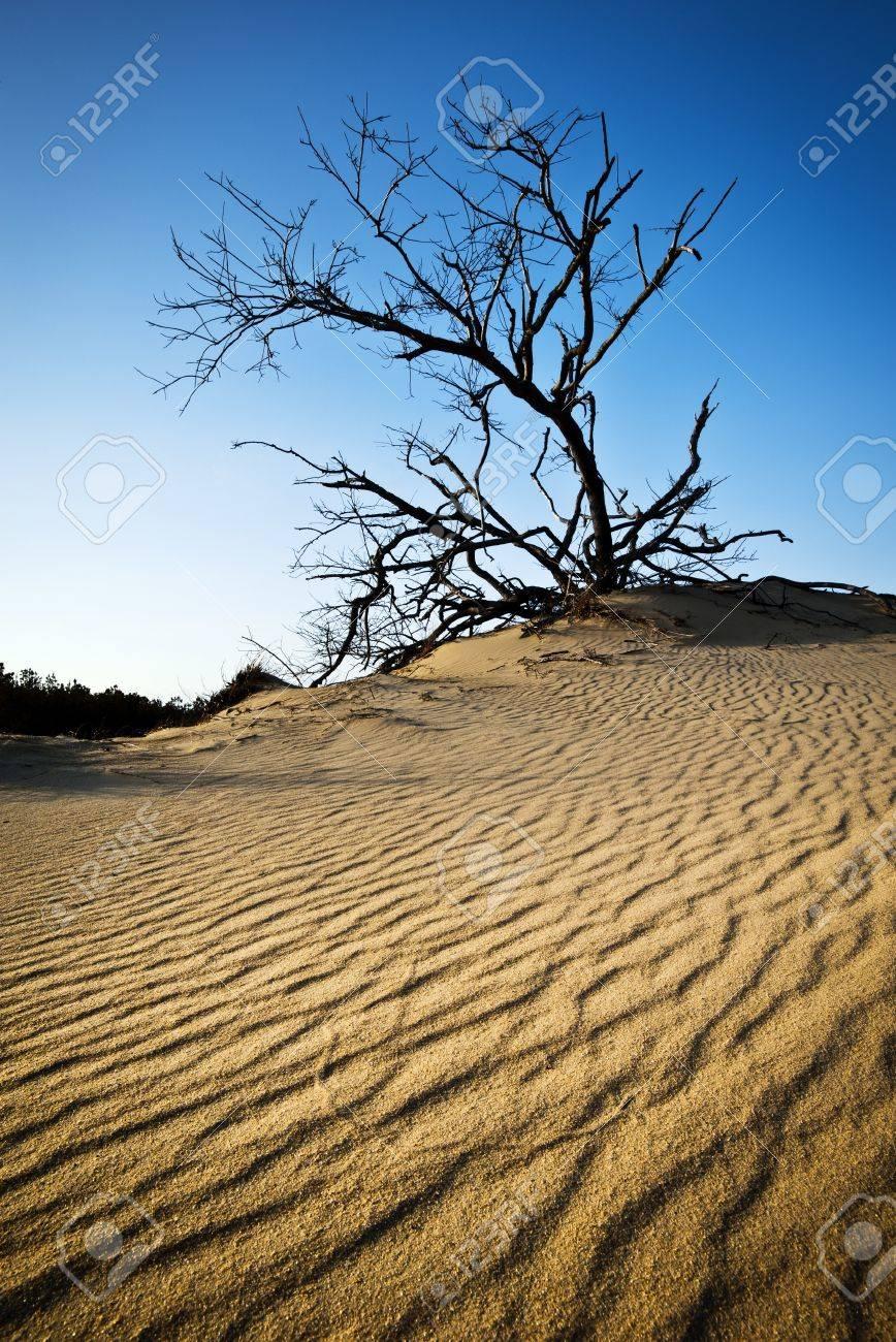 OBX Rippled Sand Dunes Tree Jockeys Ridge Outer Banks NC State Park Nags Head North Carolina Stock Photo - 12932156
