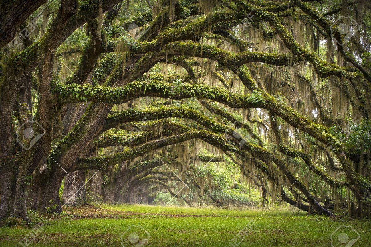 Oaks Avenue Charleston Sc Plantation Live Oak Trees Forest Landscape Stock Photo Picture And Royalty Free Image Image 13882329