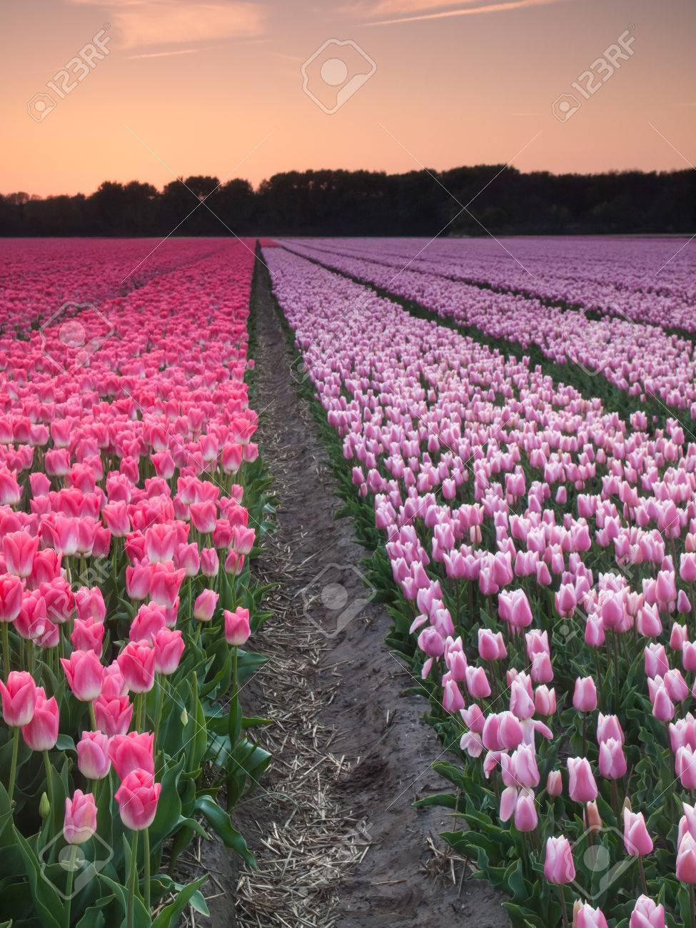 Dutch Flower Field With Rows Of Pink And Purple Tulips At Sundown