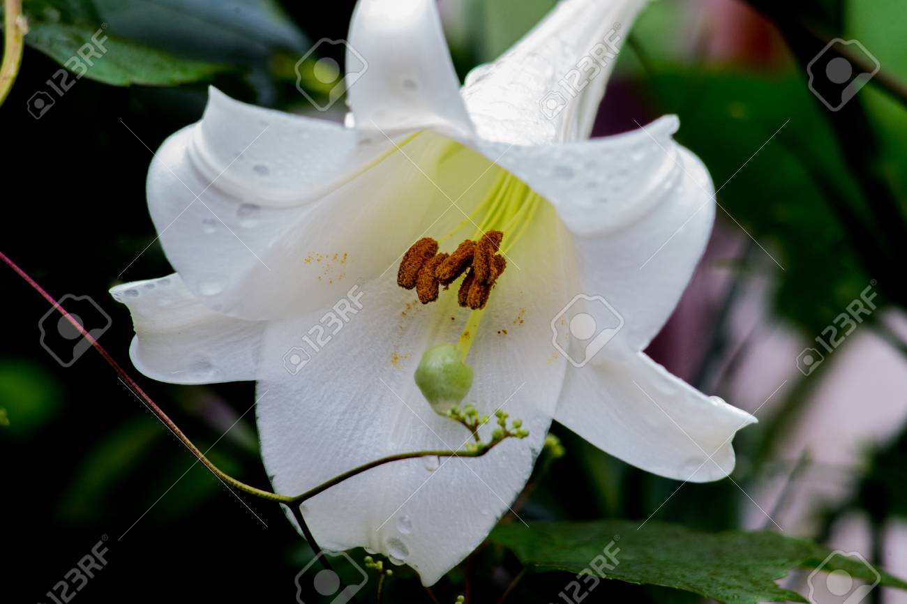 A White Bell Flower Blooms In A Garden In Oiso Japan Stock Photo