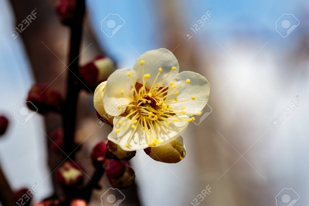 A macro shot of a white plum blossom in late february in japan a macro shot of a white plum blossom in late february in japan plums are mightylinksfo