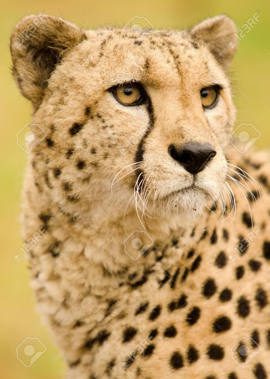 Cheetah Stock Photo - 13117310