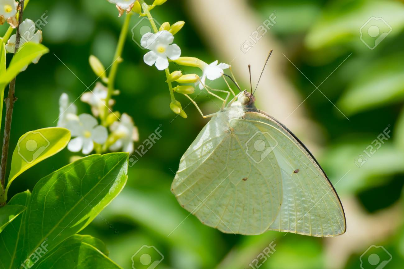 Sưu tập Bộ cánh vẩy 2 - Page 82 21993625-a-white-butterfly-dixeia-doxo-drinking-nectar-from-a-flower