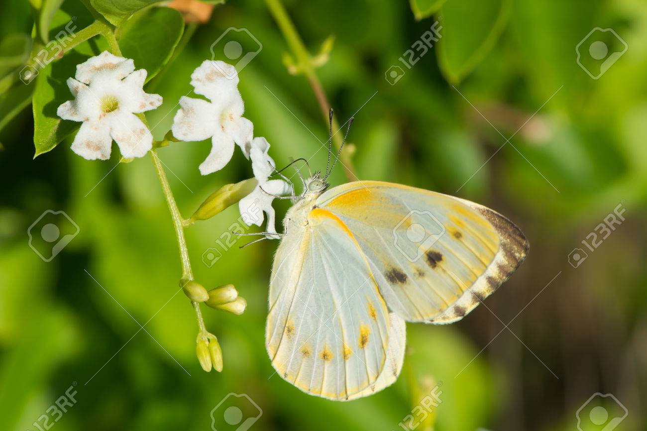 Sưu tập Bộ cánh vẩy 2 - Page 82 24173235-a-female-creamy-small-white-butterfly-dixeia-orbona-drinking-nectar-from-small-white-flowers-with-2-