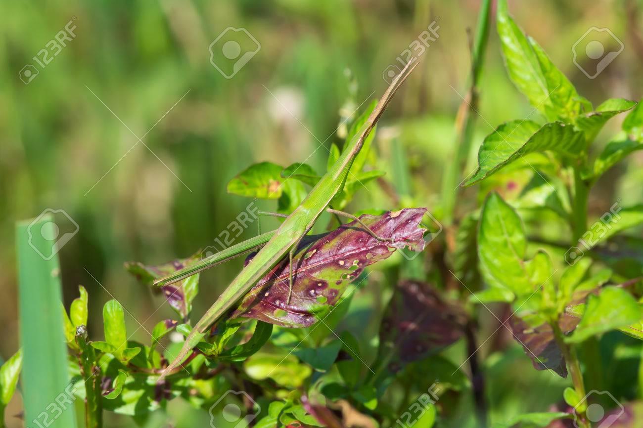 A Common Stick Grasshopper Acrida Acuminata Well Hidden Within