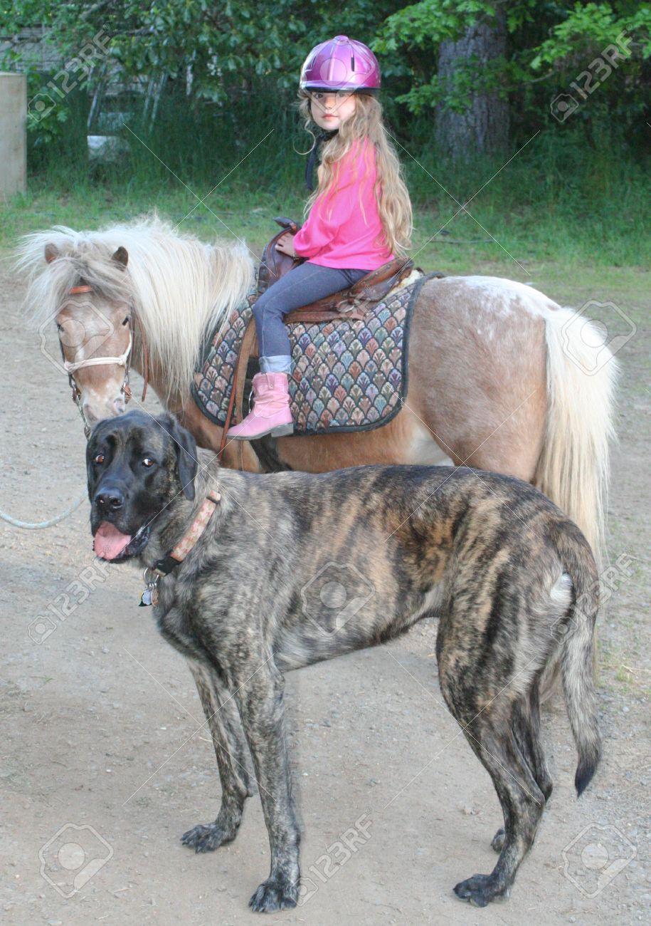 Young girl on pony with giant Mastiff dog Stock Photo - 15340396