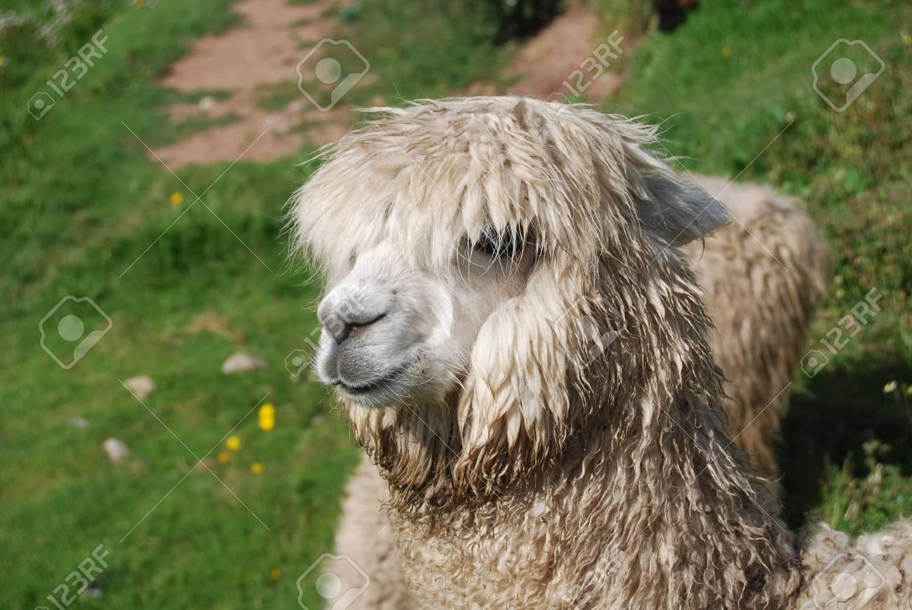 Closeup of a Lama in the Machu Pichu Stock Photo - 13625108