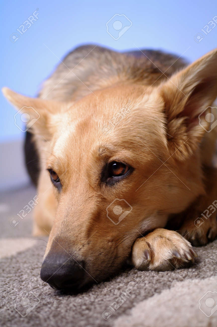 A German Shepherd lying on a rug looking sad with blue background Stock Photo - 9476614