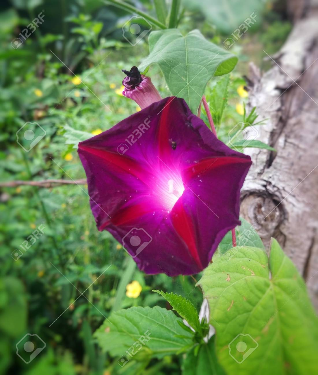 Ipomoea Purpurea Morning Glory Beautiful Purple Flower With