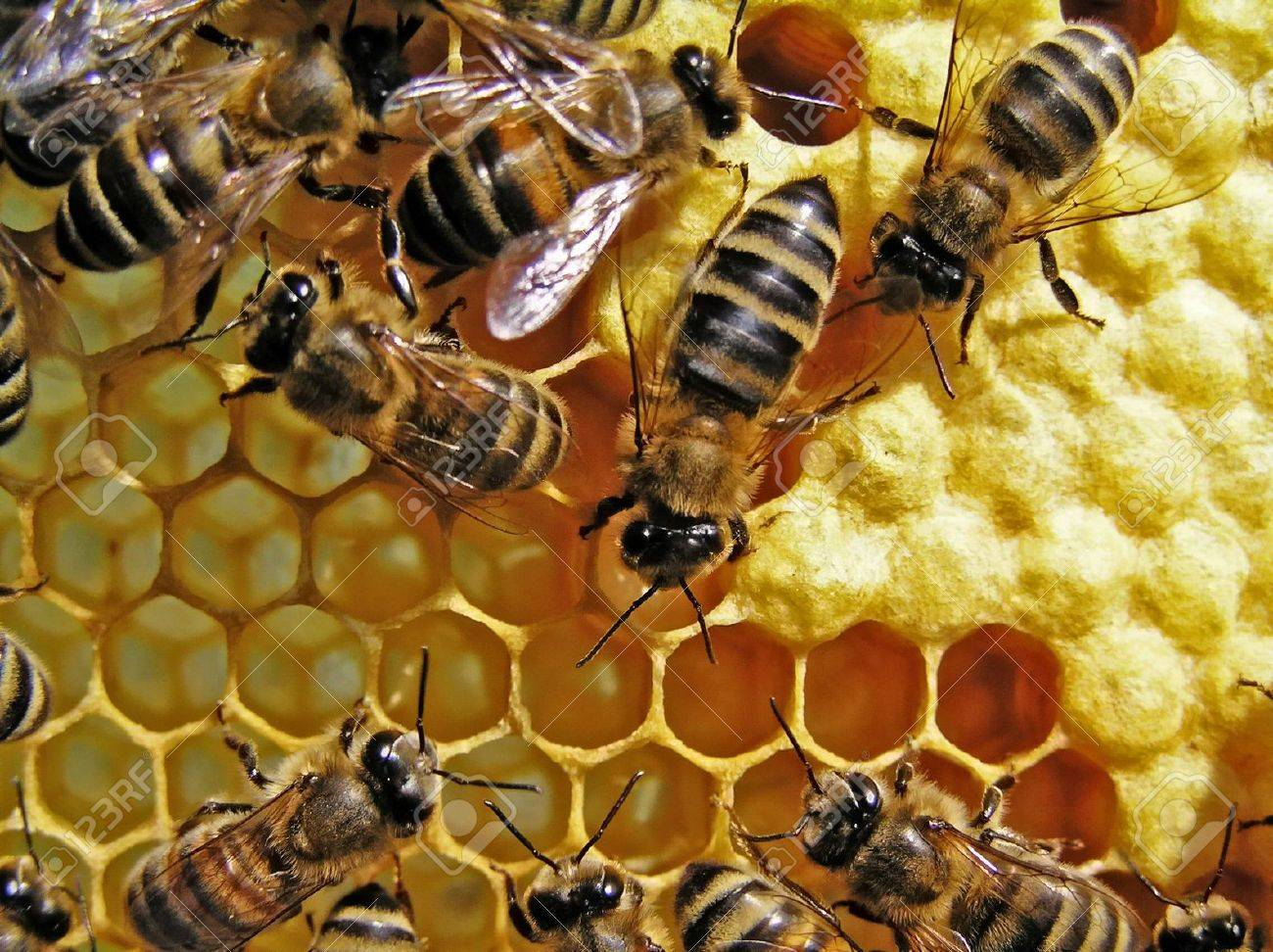 Set aside in honeycombs by the uterus of egg, young (those, that does not yet fly) bees feed during a few days. - 4292744