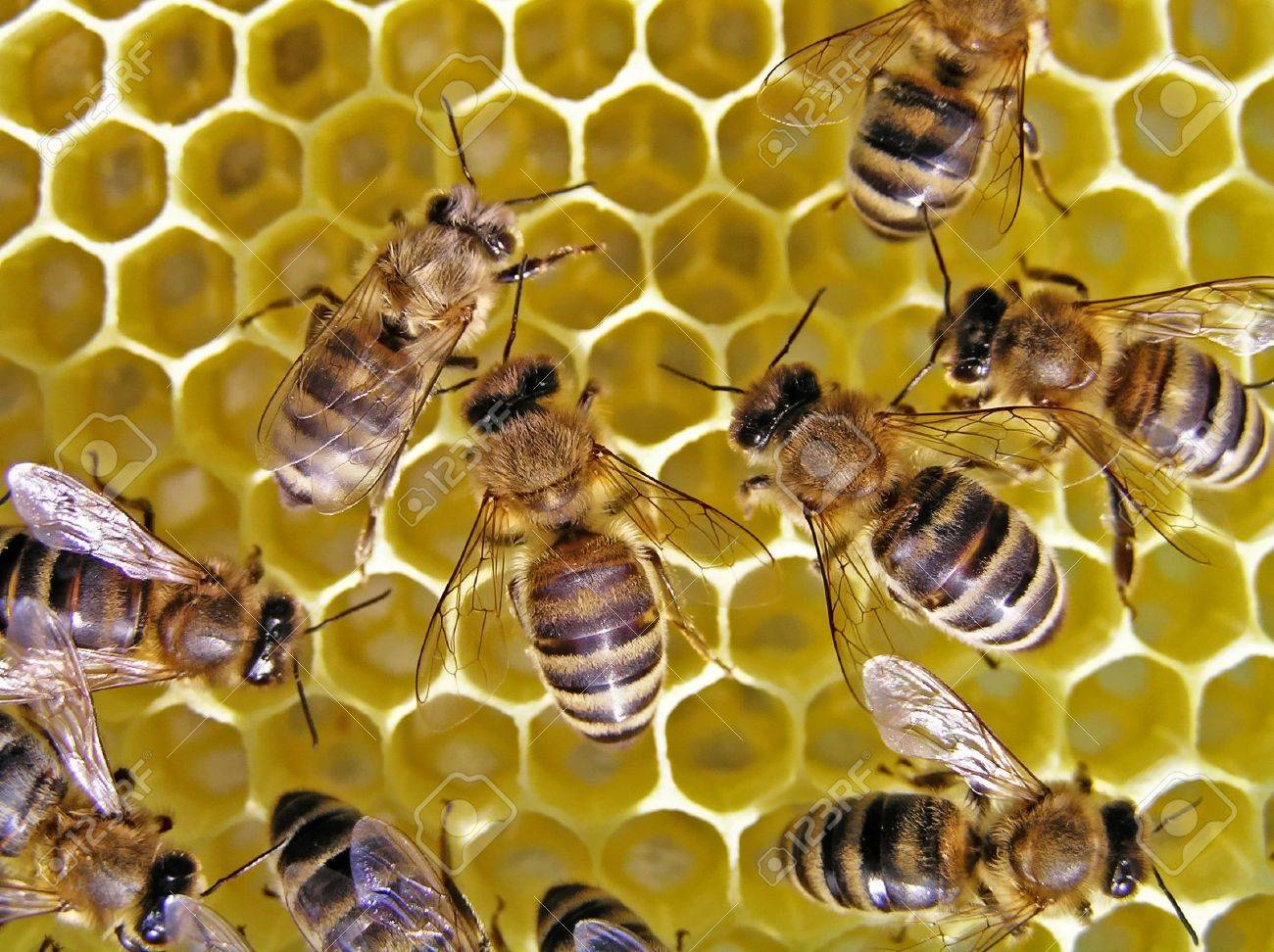 Young bees grow honeycombs on the scope of beehive. - 4292838