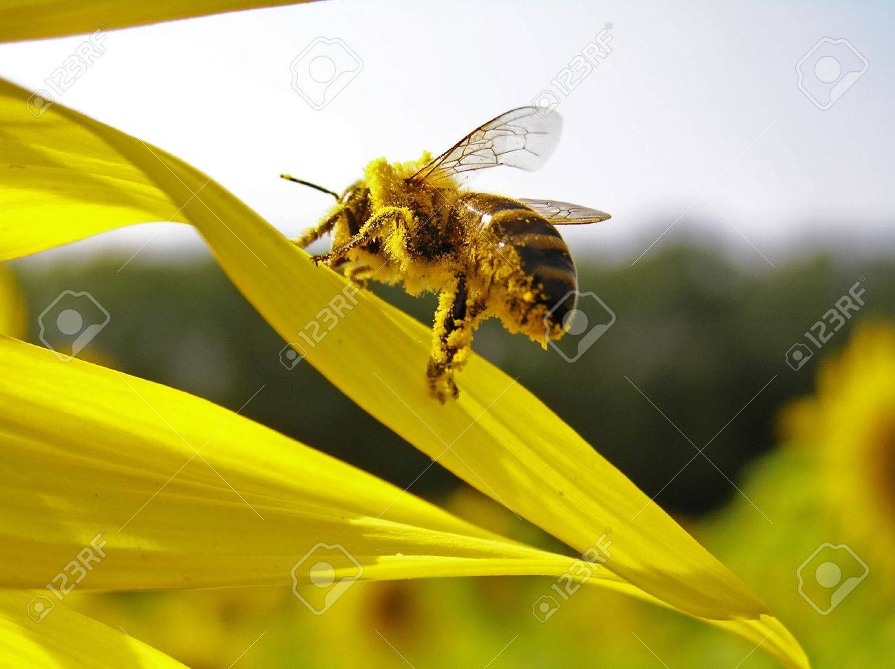 Collecting pollen of sunflower on hairs, a bee scrapes away her in the small baskets. - 4292833
