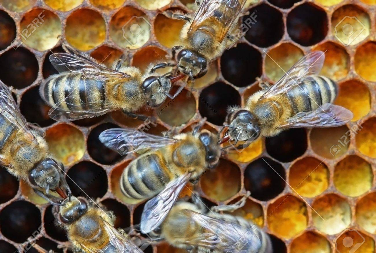 Bees transfer one other nectar or medical - 4930085