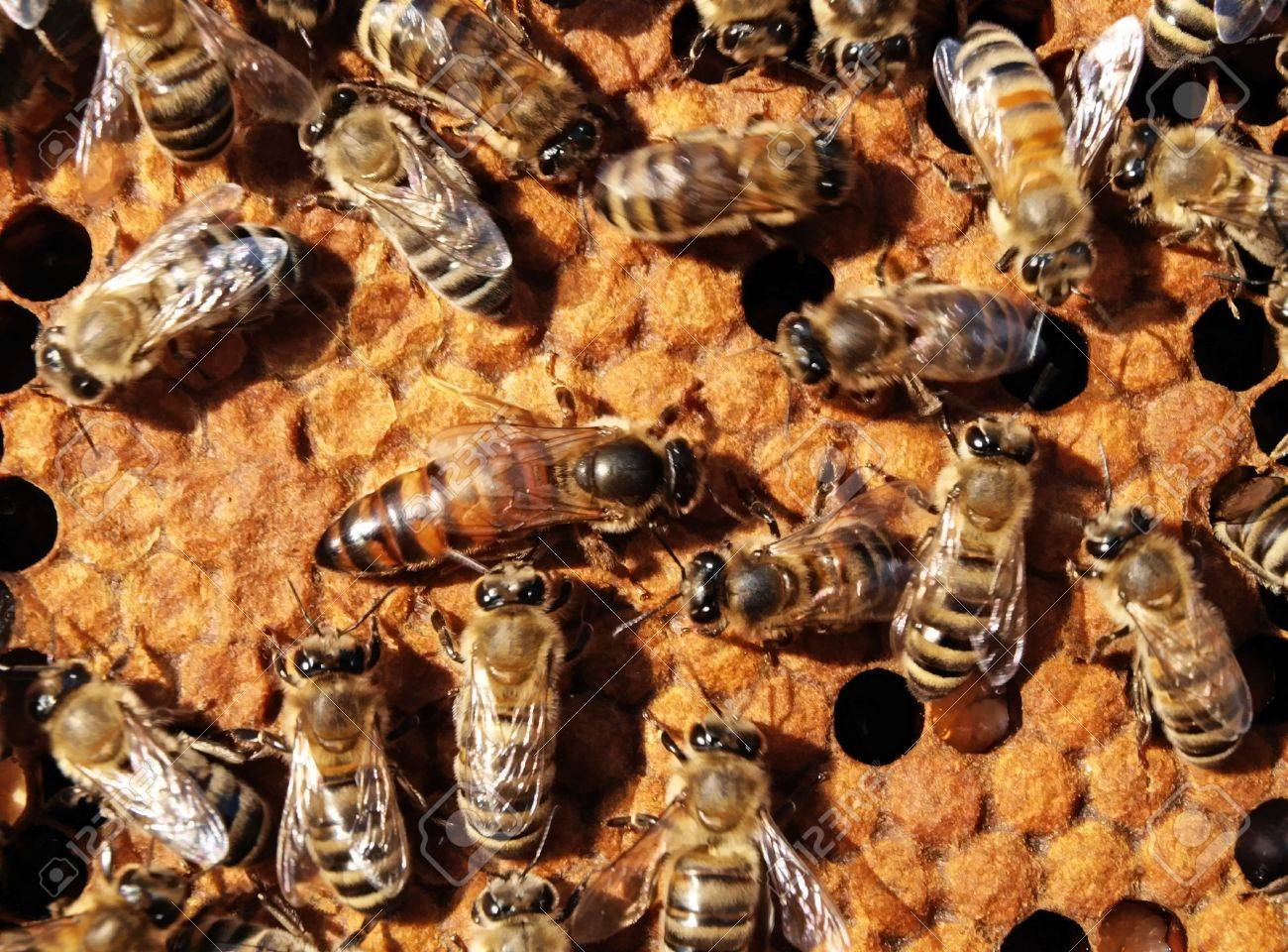 The queen bee searches for the blank cells to postpone in them eggs. - 4930796