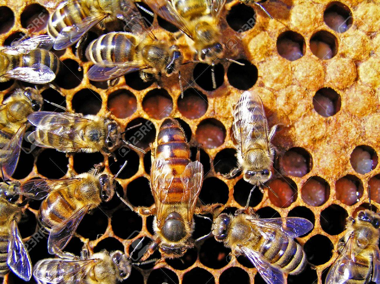 The queen bee searches for the blank cells to postpone in them eggs. - 4930794