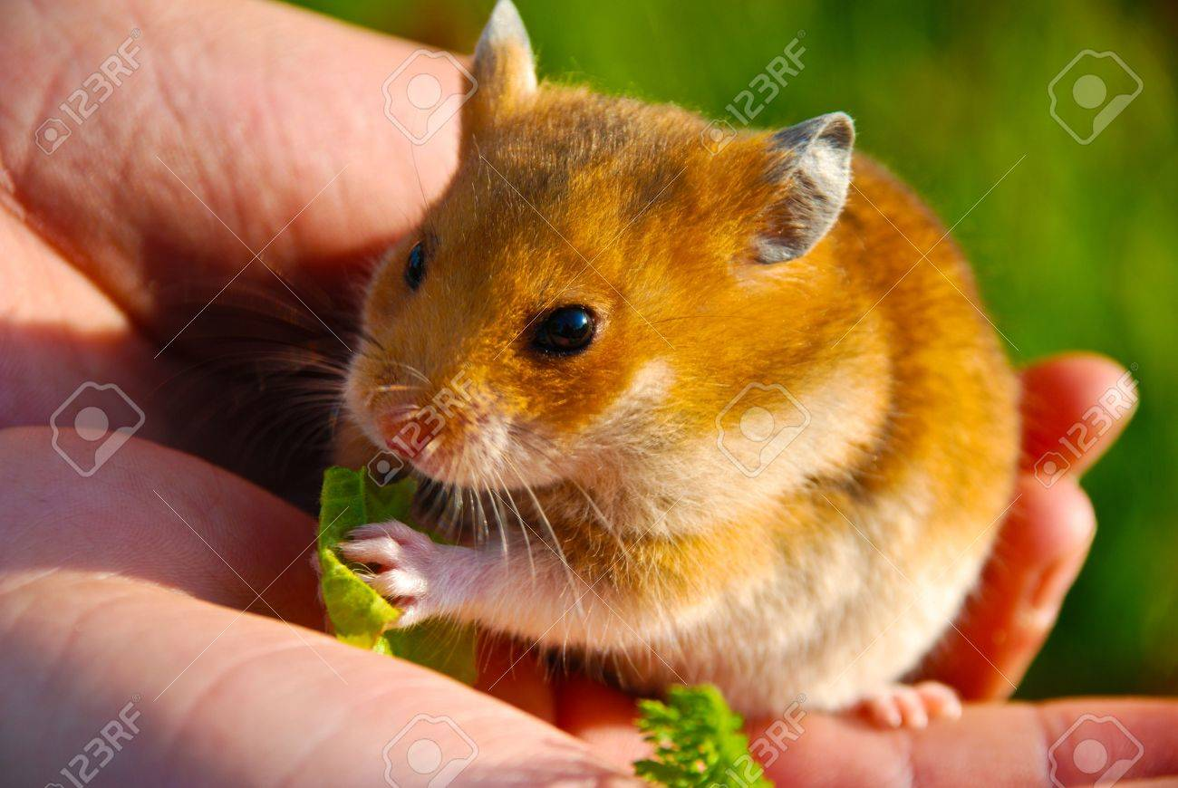 Hamster sitting on his hands and the child eats. - 7739338