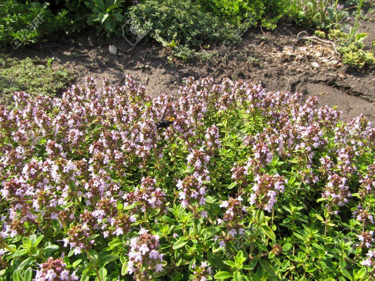 Thyme or Shepherd ( Thymus pastoralis - L.) It grows in woodsand fields and waste places. Gives the fragrant nectar. - 9833276