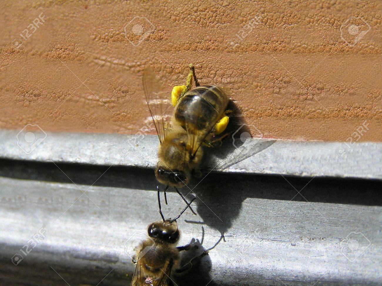 Bees are divided into groups, each of that executes the functions. In this case one bee delivered pollen in a beehive. Other bee checks her for belonging to this family. - 12035613