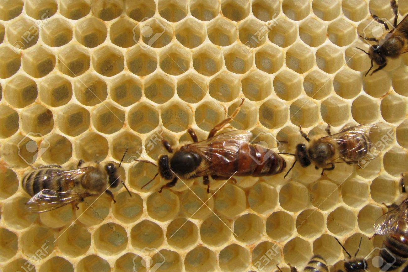 Queen Bee lays eggs. She is accompanied by a bee. - 12427637