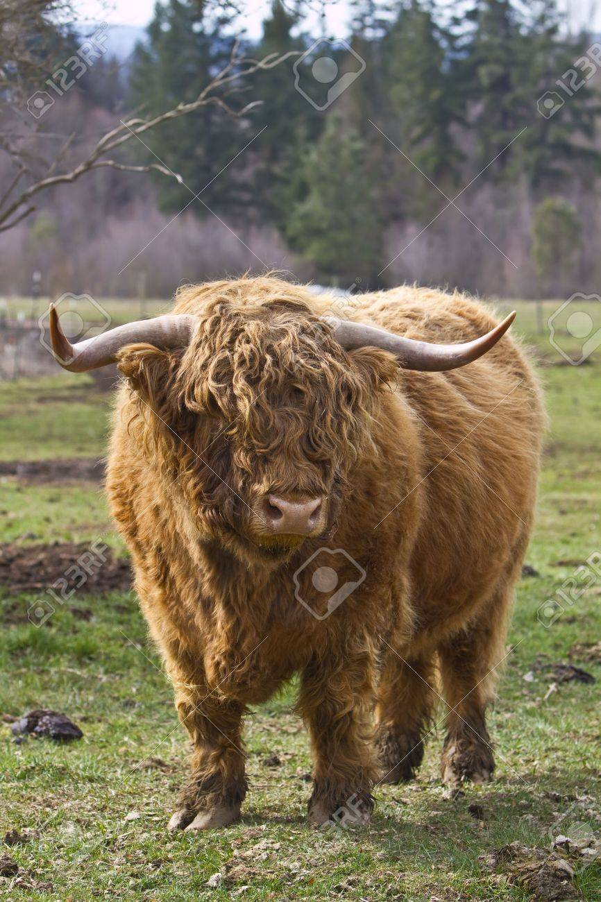 kyloe highland bull cow cattle scottish breed stock photo picture